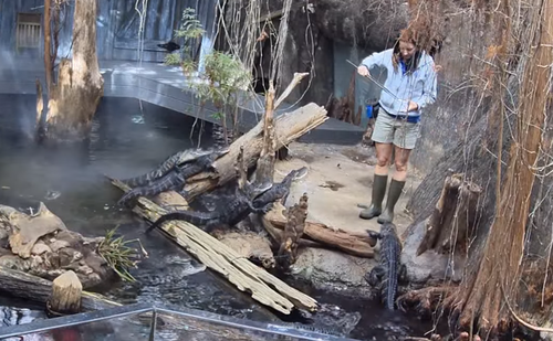 Screen capture of EPB's live 4K video feed of the Tennessee Aquarium's alligator habitat