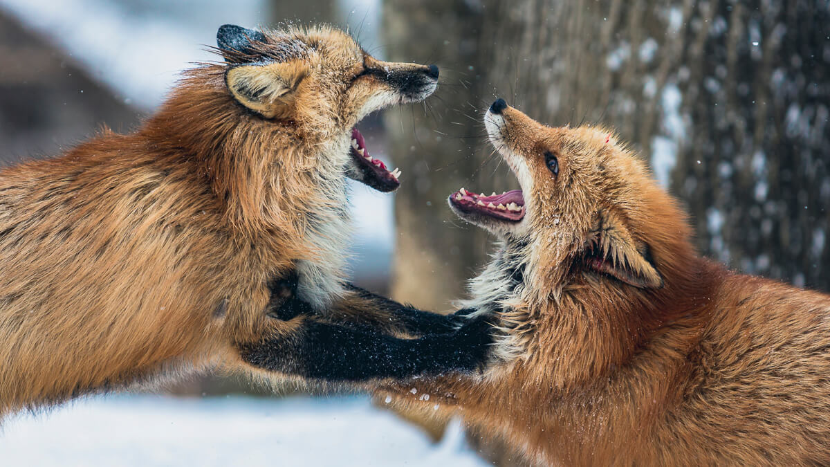 Fox fight: Foxconn is squaring up to rival Luxshare - often called 'little Foxconn' - over Apple's supply chain. (Source: cloudvisual on Unsplash)