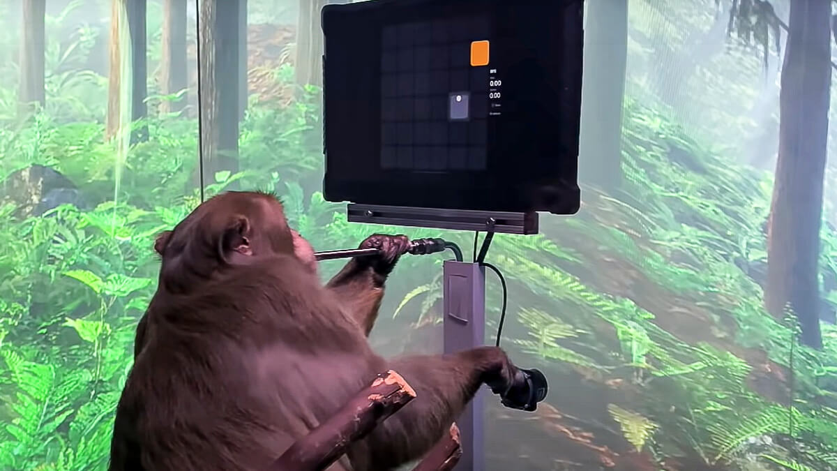 A monkey could do it: Pager the monkey is rewarded with banana smoothie for playing games - with his mind.  (Source: Neuralink)