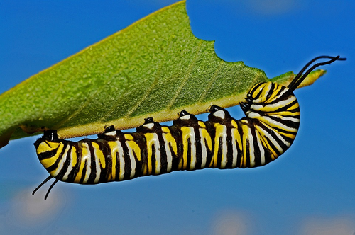 This caterpillar will transform into a butterfly – if it survives.